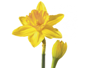march-daffodil